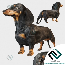 Живые существа Living creatures Black dachshund